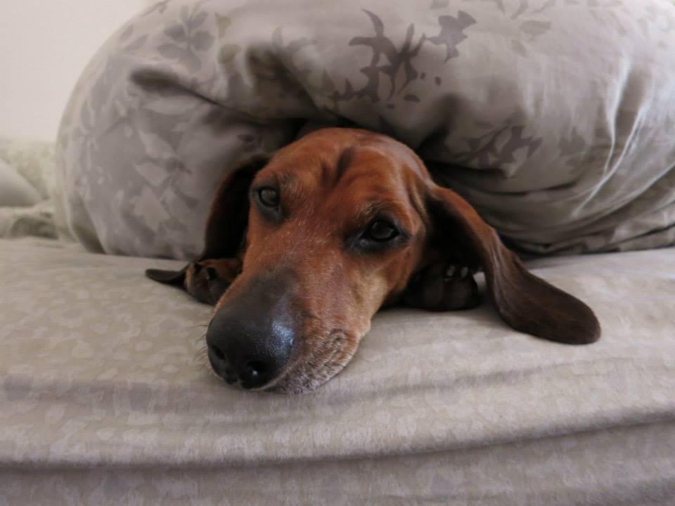3 Career Lessons From Obie, the (Formerly) Obese Dachshund